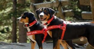 Je pro psa lepší obojek nebo postroj?