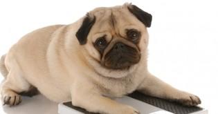 Jak předejít obezitě u psa?