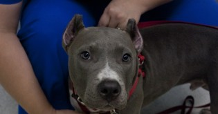 Kupírování uší a ocasů u psů – zvítězí formální předpisy standardu anebo odpor k mrzačení psů?