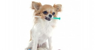 Infekční hepatitida u psů – prevence, příznaky a léčba