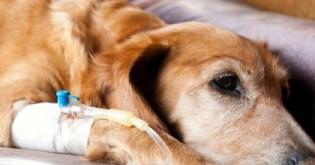 Leptospiróza u psů – prevence, příznaky a léčba
