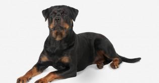 12 plemen psů, kteří vás budou chránit i za cenu vlastního života
