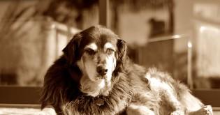 Délku života psů lze významně prodloužit
